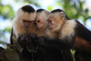 Bilden visar tre capucchinapor som sitter med huvudena tätt ihop och tycks titta på något tillsammans.